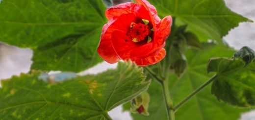 Hledáte ideální pokojovou rostlinu do interiéru? A co třeba abutilon?